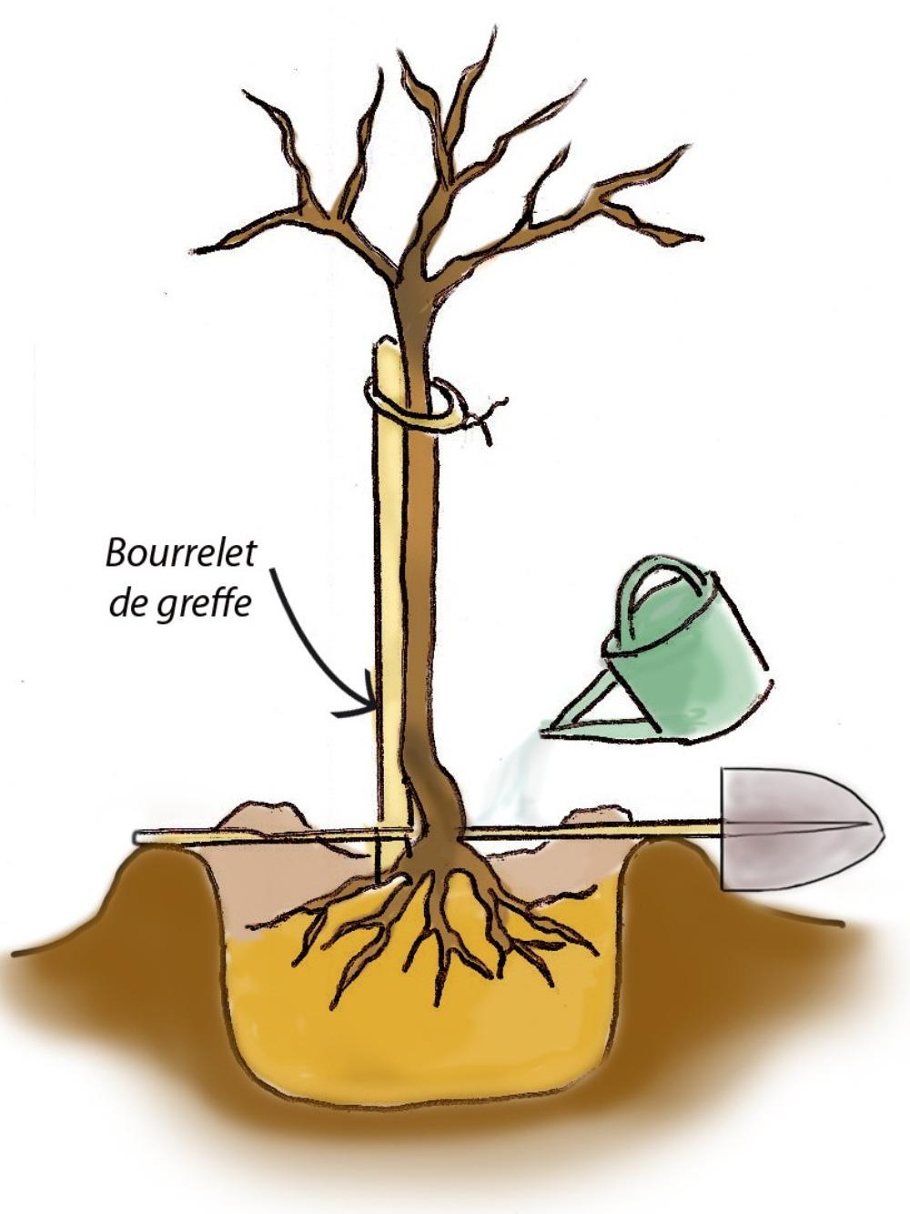 Comment Planter Un Arbre Fruitier comment planter vos arbres fruitiers en racines nues ?